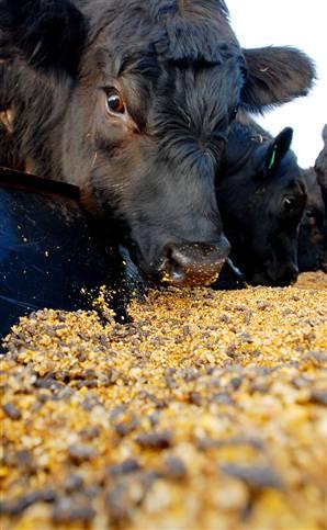 Feedlot Animals Receiving a Double Dose of Antibiotics