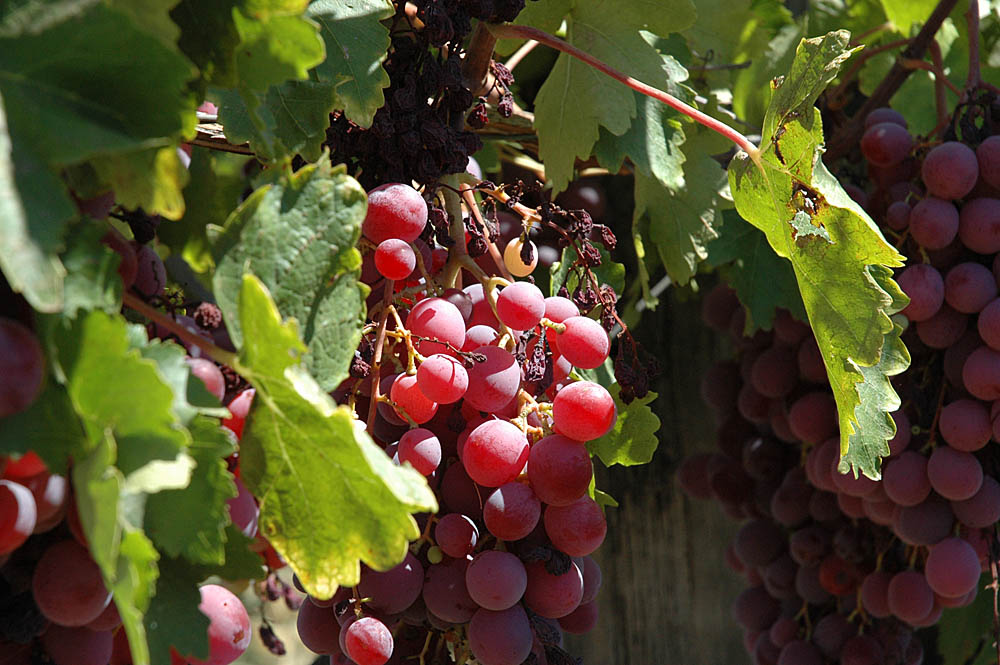 New Study Touts Big Health Benefits of Resveratrol