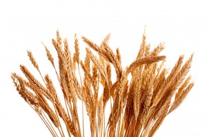 GE Wheat Contamination in Montana Proves GMOs Can't Be Controlled