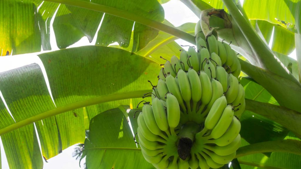 Bananas as We Know Them May Be Disappearing